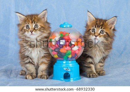 Maine Coon kittens with candy dispenser