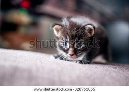 Maine coon little kitten at home - stock photo