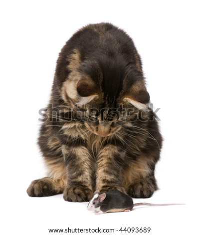 Maine Coon looking at mouse, 7 months old, in front of white background - stock photo