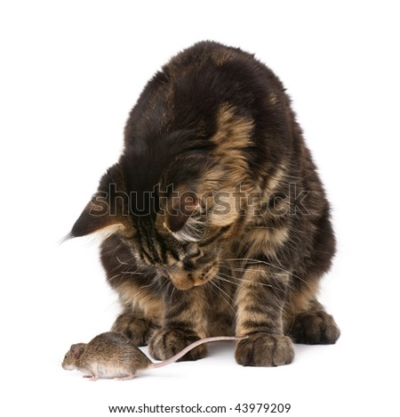 Maine Coon looking at wild mouse, 7 months old, in front of white background - stock photo