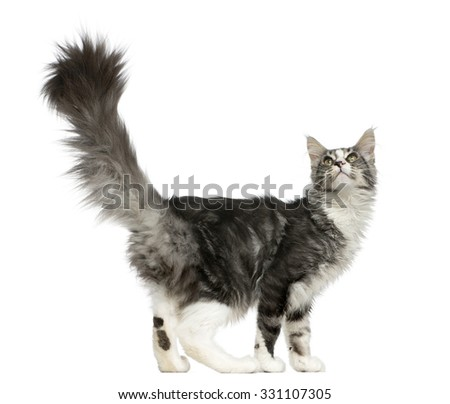 Maine Coon looking up in front of a white background - stock photo