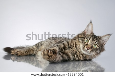 Maine Coon, lying on a grey background with reflection. Studio shot