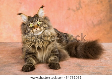 Maine Coon lying on brown mottled background - stock photo