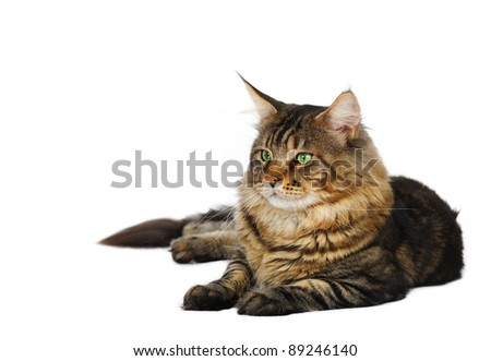 Maine coon male cat in studio on a white background