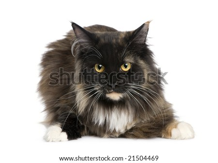 Maine Coon (11 months) in front of a white background - stock photo
