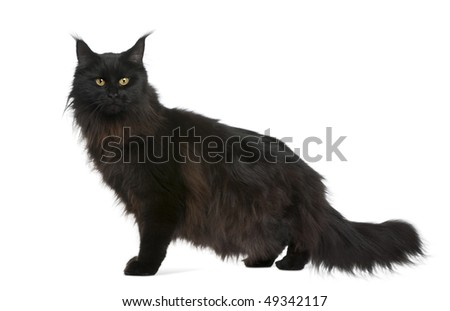 Maine coon, 21 months old, in front of white background - stock photo