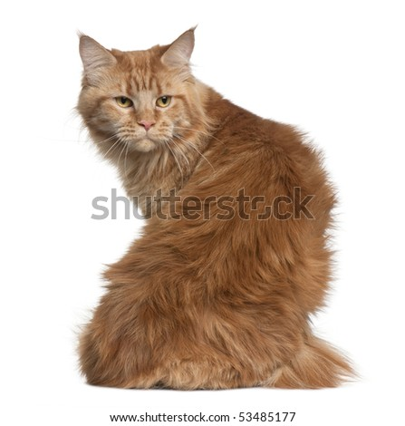 Maine coon, 15 months old, sitting in front of white background - stock photo