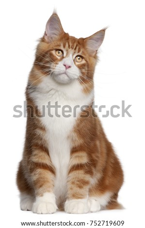 Maine Coon, 6 months old, sitting in front of white background