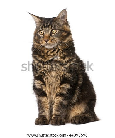 Maine Coon, 7 months old, sitting in front of white background, studio shot - stock photo