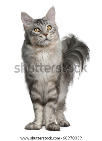 Maine Coon, 13 months old, standing in front of white background - stock photo
