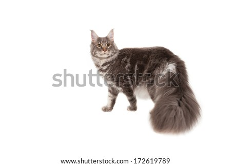 Maine coon on a white background - stock photo