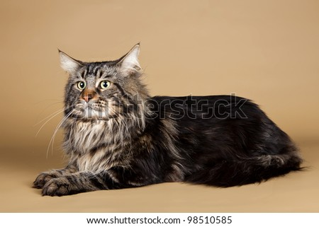 Maine coon on brown background - stock photo