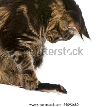 Maine Coon petting mouse, 7 months old, in front of white background - stock photo