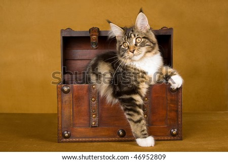 Maine Coon sitting in wooden treasure trunk chest on gold background - stock photo