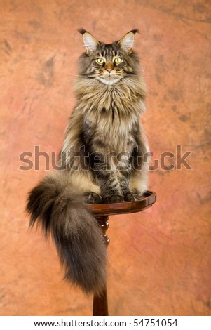 Maine Coon sitting on wooden table on brown mottled background - stock photo