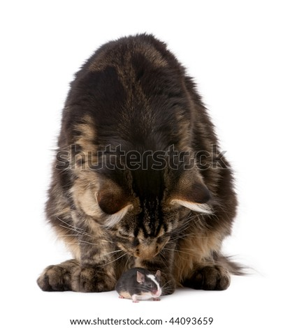 Maine coon smelling mouse, 7 months old, in front of white background - stock photo