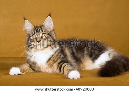 Maine Coon tabby on bronze background - stock photo
