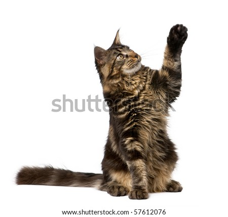Maine Coon with paw in air, 7 months old, in front of white background - stock photo