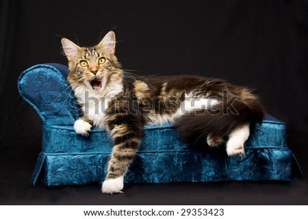 Maine Coon yawning while lying on miniature blue couch sofa chaise on black background - stock photo