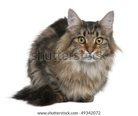 Maine coon, 1 year old, sitting in front of white background - stock photo