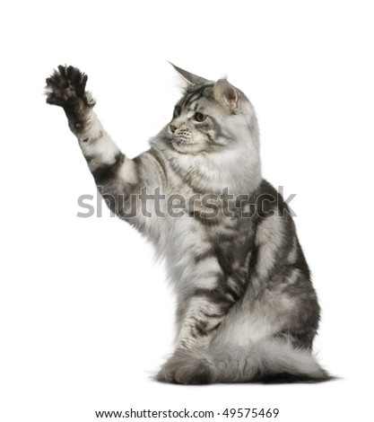Maine Coon, 1 year old, sitting with one paw up in front of white background - stock photo