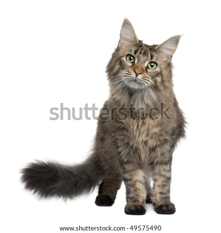 Maine coon, 1 year old, standing in front of white background