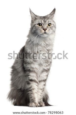 Maine Coon, 2 years old, sitting in front of white background