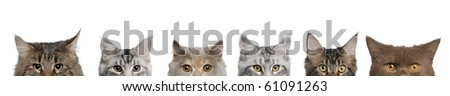 Maine coons, 1 year old, lined up in front of white background - stock photo
