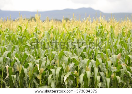 Maize, aka corn.  a crop of maize at tassel stage. - stock photo
