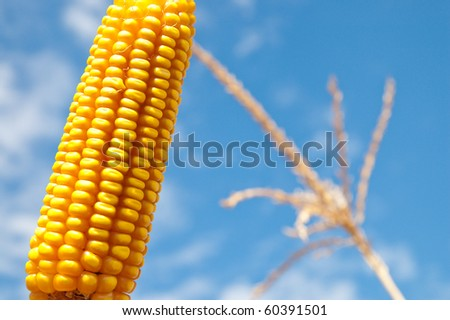 maize close up under cloudy sky - stock photo
