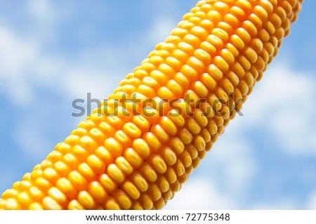 maize close up under cloudy sky - stock photo