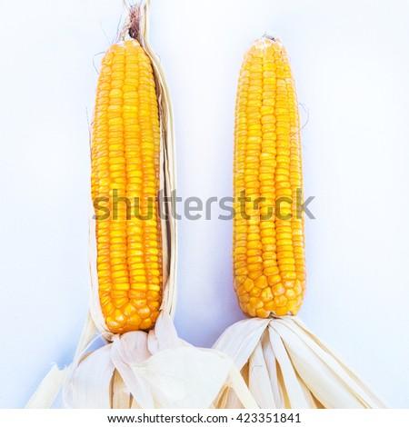 maize cornraw corn maize harvest in the agriculture farm - stock photo