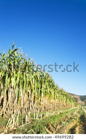 Maize crop in early morning sunlight with clear blue sky - stock photo
