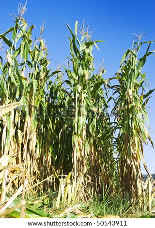 Maize crop ready for harvest - stock photo