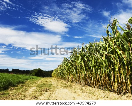 Maize crop with beautiful sky - stock photo