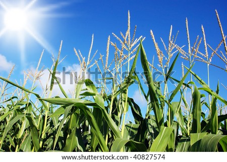 Maize field against sun and sky - stock photo