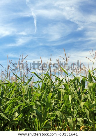 Maize field and beatiful sky. Good as background or backdrop. - stock photo