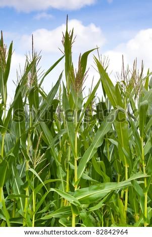 Maize field close up - stock photo