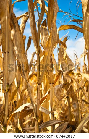 Maize field close up - stock photo