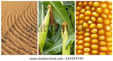 Maize growing - stock photo