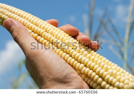 maize in hand - stock photo