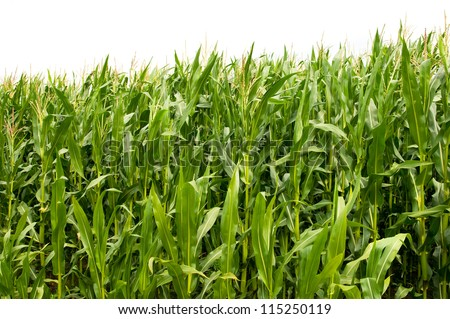 Maize is one of the most important agricultural products in Germany - stock photo