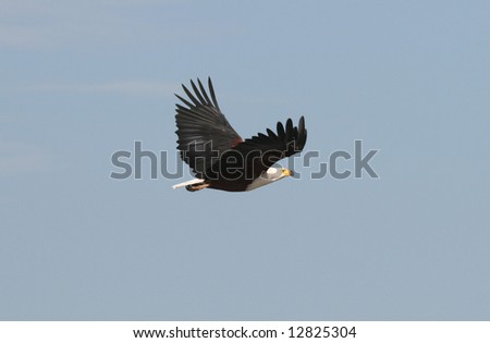 Majestic African Fish Eagle flying against blue sky. Kruger park. South Africa - stock photo