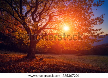 Majestic alone beech tree on a hill slope with sunny beams at mountain valley. Dramatic colorful morning scene. Red and yellow autumn leaves. Carpathians, Ukraine, Europe. Beauty world. - stock photo