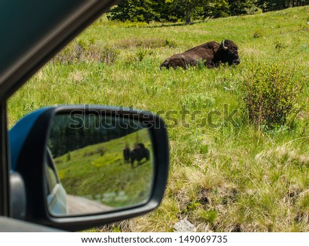 Majestic American Bison at the National Bison Range in Montana, USA as Seen Through the Window af a Car and Mirror  - stock photo