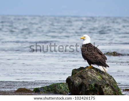 Majestic Bald Eagle sitting on beach with ocean in background - stock photo