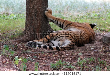 Majestic & beautiful royal bengal tiger which is the biggest of cats relaxing at mysore zoo, India. These animals are top predators and carnivores. Scientifically they are called panthera tigris. - stock photo