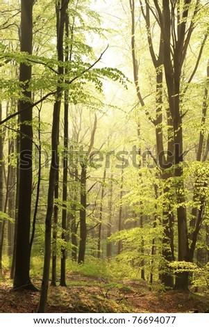 Majestic beech forest in a nature reserve in the spring morning. - stock photo