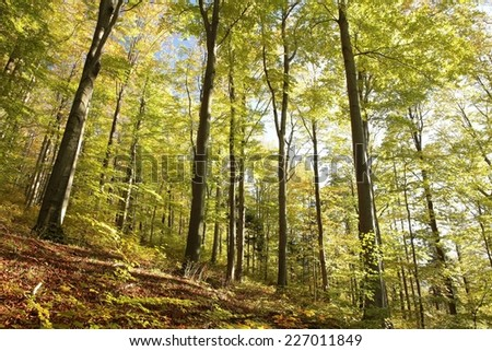 Majestic beech forest in autumn colors. - stock photo