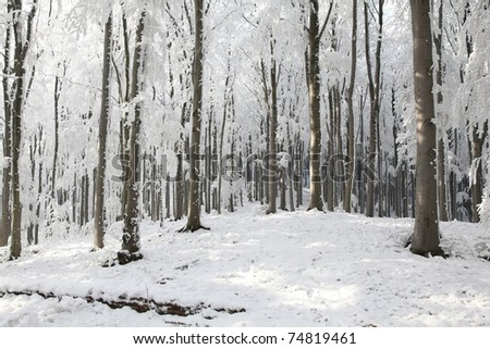 Majestic beech forest on a frosty winter morning. - stock photo